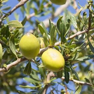 Amandons d'Argan sur branche